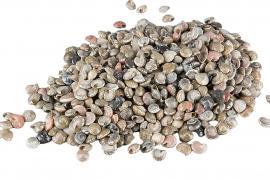 Snäcka Umbonium ca 1cm 2kg , hemmetshjarta.se