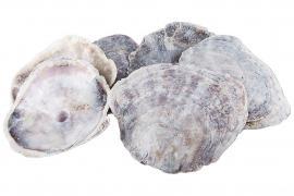 Snäcka Placuna Cap 8-15cm 1kg , hemmetshjarta.se