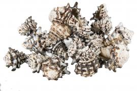 Snäcka Ceranicum 5-7cm 1kg , hemmetshjarta.se